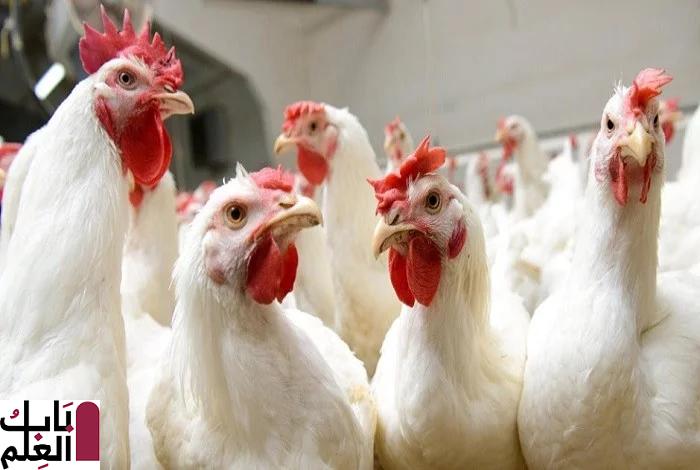 سعر الدواجن اليوم الإثنين 23 ديسمبر 2019 ومتابعة مستمرة لأسعار الدجاج والرومي والبيض