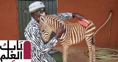 """Photo of عمال بمنظمة تهتم بالحياة البرية فى كينيا يرتدون زى """"الحمار الوحشى"""".. اعرف القصة"""